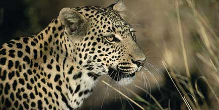 Namibia_Leopard